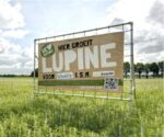 Eerste oogst van Lupine voor nieuwe vleesvervanger