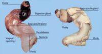 dubbel geslacht bij wulk door hormoonverstoorders