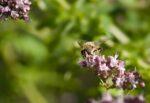 Blije bijen in de redactietuin