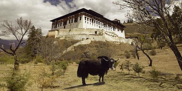 cow bhutan