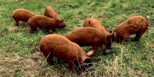 Tamworth varkens op de Woeste Grond