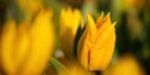 Biologische bloembollen krijgen steeds meer voedingsbodem