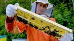 Amerikaanse imkers verliezen helft van hun bijen