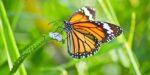 Green Deal zorgt voor meer vlinders langs de weg