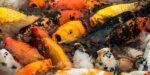 Vissen eten liever plastic