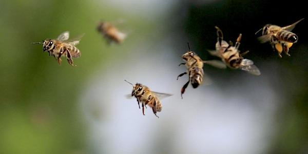 Wilde bijen doen het goed in speciaal bijenlandschap