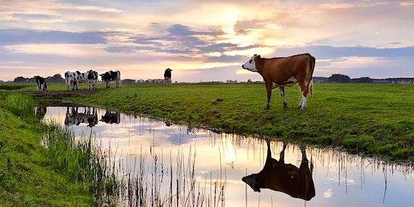 Aantal koeien en varkens moet met 40% omlaag in Nederland