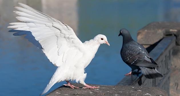 duiven vrede