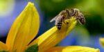 Groot nieuw onderzoek bevestigt oorzaak bijensterfte