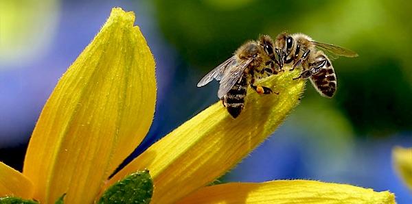 bijensterfte neonicotinoiden