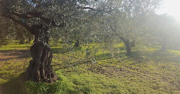 Rotterdamse ondernemer in de bres voor olijfboeren met 1000 jaar oude bomen
