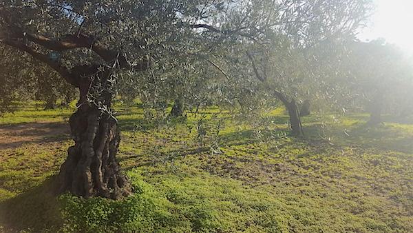 olijfbomen olijfolie flor y sabor andalusie