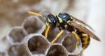 Wespenplaag op komst: zo voorkom je overlast