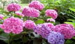 Hortensia's: een populaire struik met opvallende bloemen