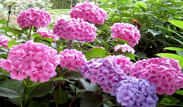 Struiken Met Bloemen Voor In De Tuin.Hortensia S Een Populaire Struik Met Opvallende Bloemen
