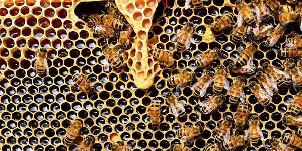 Efsa bevestigt gevaar van neonicotinoïden voor bijen
