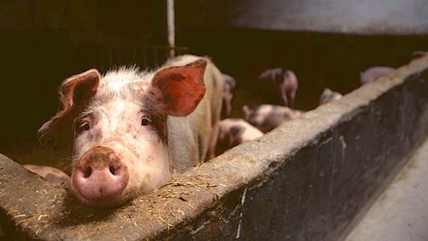 varken vlees veganistisch