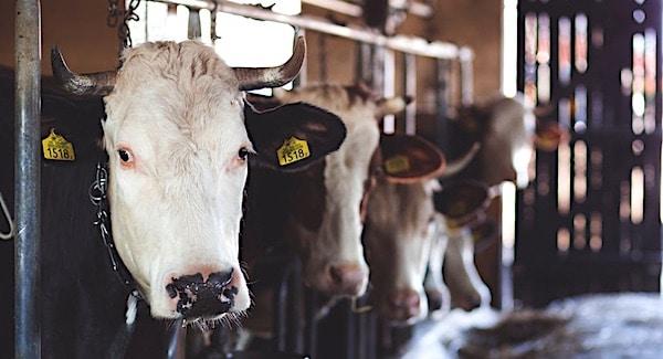 Lokale kringlopen sleutel voor melkveehouderij van de toekomst