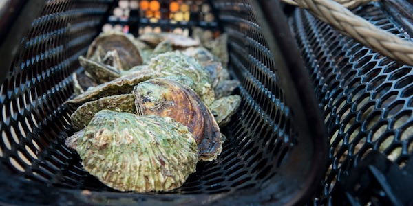 oesters noordzee