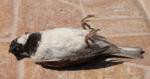 Laten Jesse Klaver en Rob Jetten zich blij maken met een dode mus?