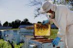 Amerikaanse imkers verliezen 40 procent van hun bijenkolonies