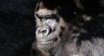 Al in de prehistorie lieten mensen soorten uitsterven