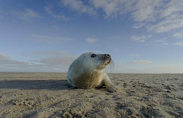 zeehond op de wadden