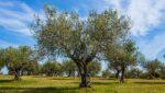 Adoptieplan helpt om eeuwenoude olijfbomen te behouden