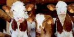 Ongezonde kalversector leidt tot extreem gebruik antibiotica