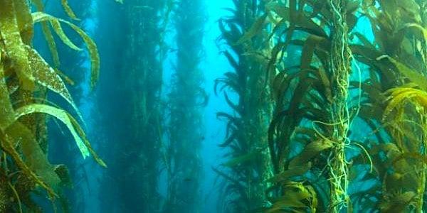 kelp zeewier