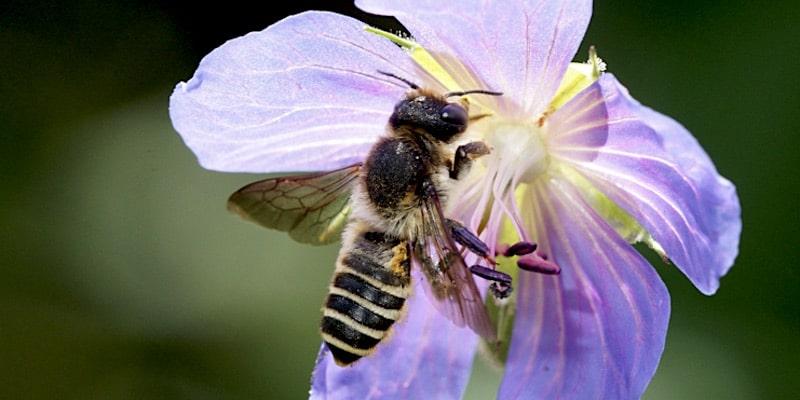 wilde bijen en hommels